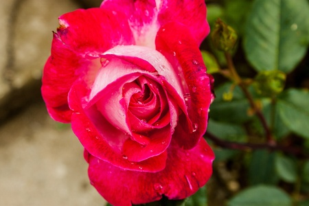selectivity: Red rose Stock Photo