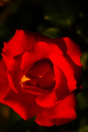 selectivity: Red rose close up