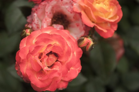 selectivity: Background with vintage roses