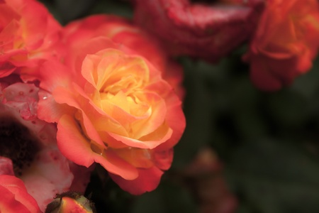 selectivity: Background with roses
