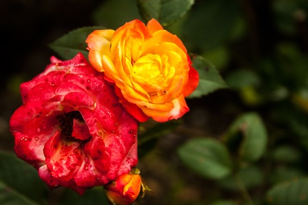 selectivity: Red and orange roses