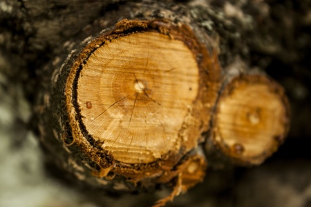 Cross section of two tree trunk photo