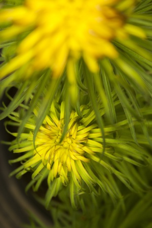 Brown yellow spinny flower photo