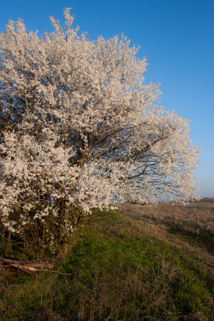 Spring sunrise with a blossom tree and a blue sky in background photo