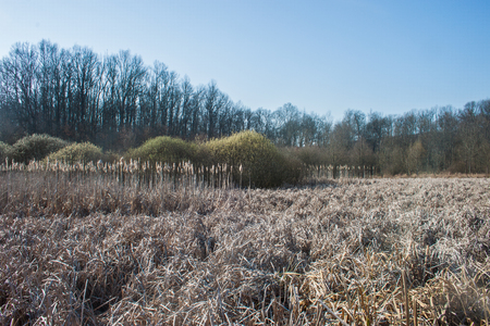 Landscape with dry reed, bushes and forest photo