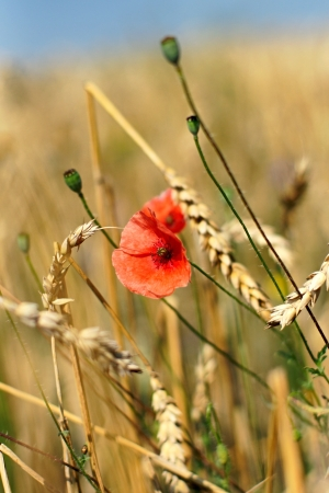 Close up view of red poppy flower and wheat ears photo