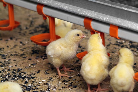 poultry farm: Group of young chickens in poultry farm