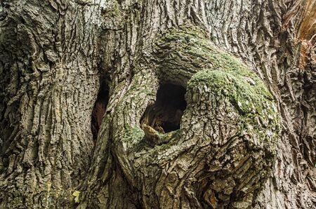 hollow tree: hollow of old oak tree