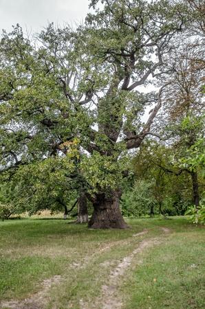 millennial: millennial oak tree