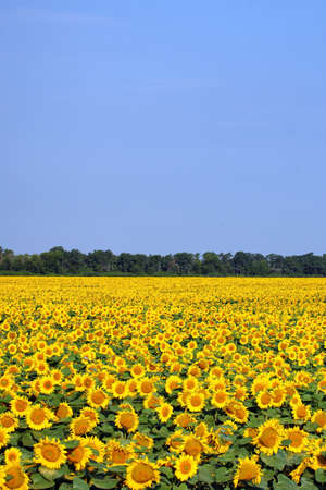 Sunflower field over cloudy blue sky Stock Photo