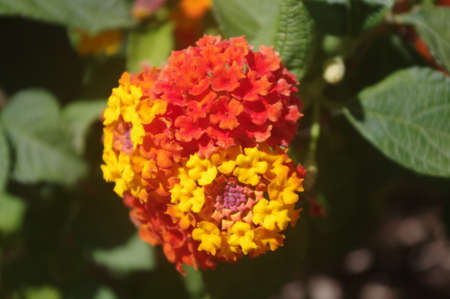 Orange and yellow lantan flower in a garden Фото со стока