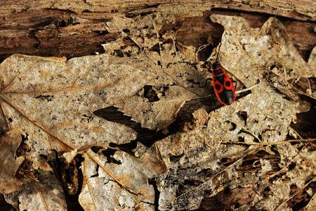 dode bladeren: Firebug (Pyrrhocoris apterus) met dode bladeren