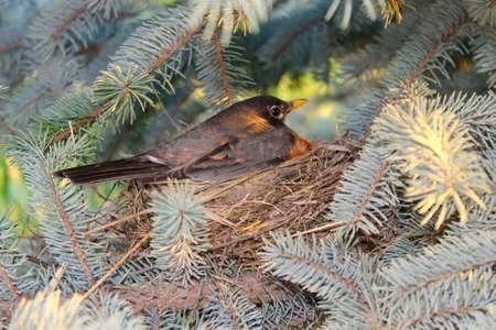 Robin in nest Stockfoto