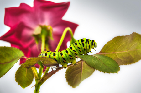 Caterpillar on rose. Stock Photo