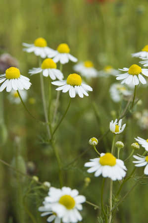 closeup of camille flowers on a green field photo