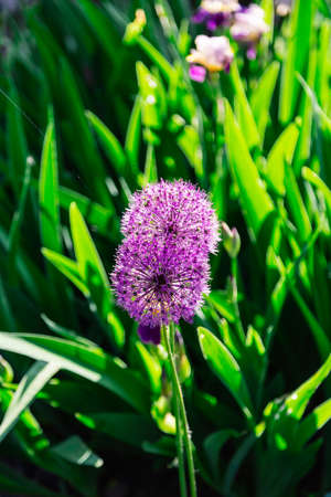 Flowers of decorative onion in sunny day .
