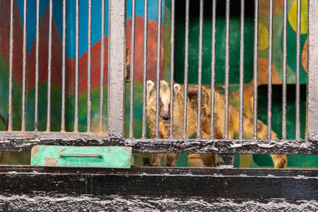 nasua cub holding bars in cage in a zoo