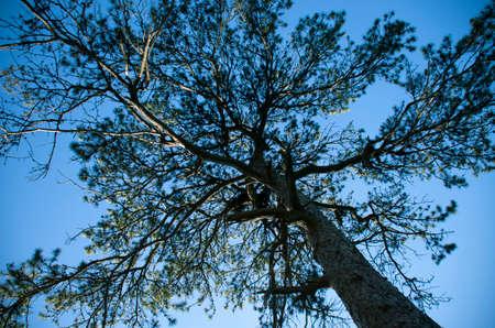 towering: Towering pine