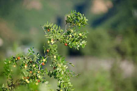 semen: Semen ziziphi spinosae