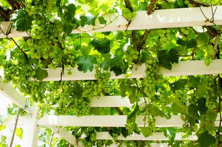 sentimental: grape trellis