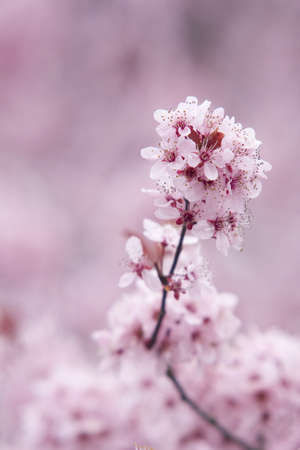 A close up macro view of a branch covered in cherry blossom flowers