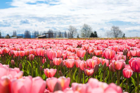 A field of pink tulips on a farm in full bloom.