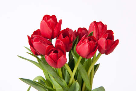 Red tulips set against a white background
