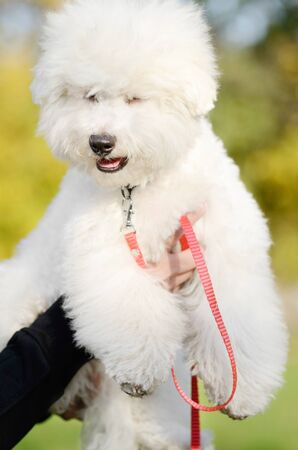 Portrait of a beautiful Bichon Frise with closed eyes and a red leash held by female hands against a blurred background