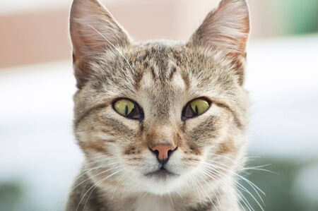Cute cat with third eyelid desease (Protrusion of Nictitating Membrane)
