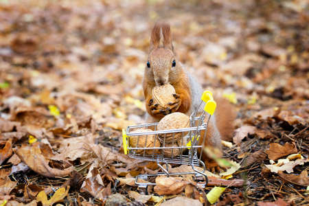 Squirrel taking a nut from a small shopping trolley full of walnuts against a blurred foliage background. Close-up shot, selective focus. Standard-Bild