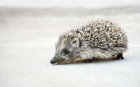 West European (common) hedgehog on a neutral background