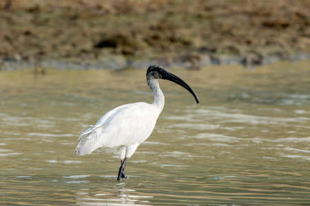 A White ibis Walking in the river side photo
