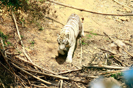 A Beautiful white tiger walking in the forest