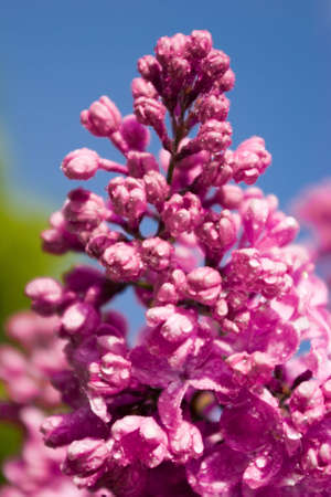 Close up blooming lilac with dews Stock Photo - 13704234
