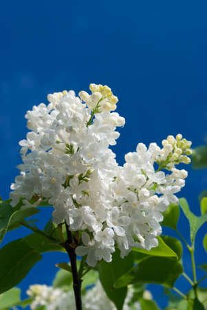 white lilac with dews against blue sky  photo