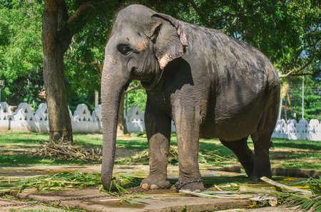 Close up portrait of elephant in Sri Lanka