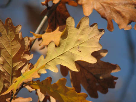 yellow brown oak leaves on the branch over blue sky background Stock Photo - 3766395