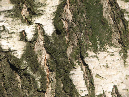 wrinkled rind: old mossy birch bark background Stock Photo