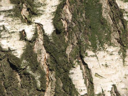 wrinkled rind: old mossy birch bark background Stock Photo