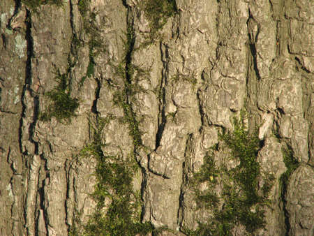 wrinkled rind: old mossy oak bark background Stock Photo