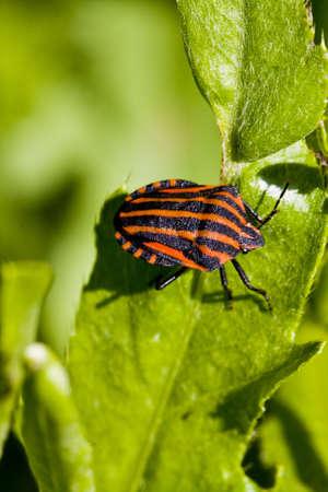 graphosoma lineatum bug on green leaf Stock Photo - 7163852