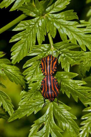 lineatum: graphosoma lineatum bugs on green leaf