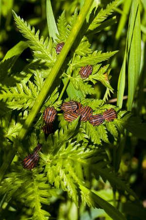 graphosoma lineatum bugs on green leaf photo
