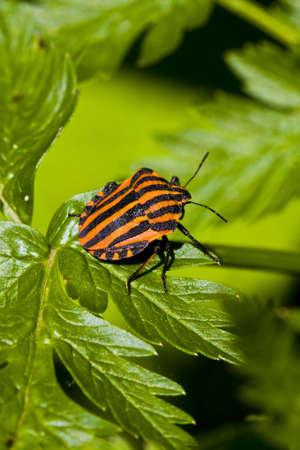 graphosoma lineatum bug on green leaf photo