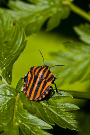 lineatum: graphosoma lineatum bug on green leaf