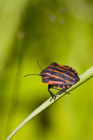 lineatum: black orange striped bug, graphosoma lineatum, on green stem