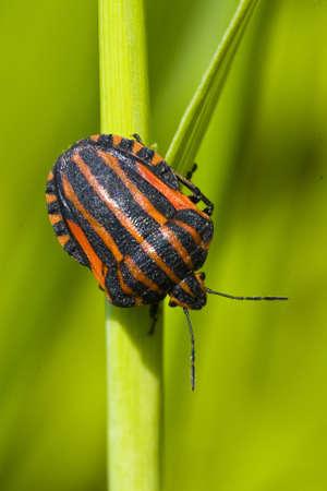 black orange striped bug, graphosoma lineatum, on green stem