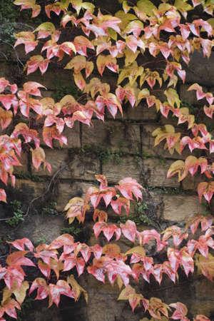 autumn wild grape on wall  photo