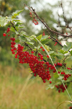 group shot: Red currant bush. Stock photo, summer beautiful shot. Group of branches.