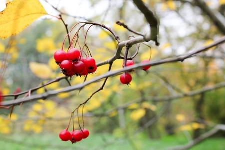 Haw berries on tree. Hawthorn. Modern photo